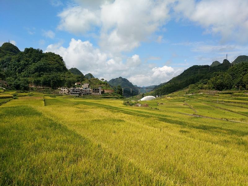 秋色的稻田.jpg